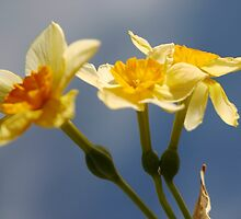 Daffodils by Susan See