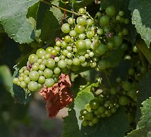 vineyard in spring by spetenfia