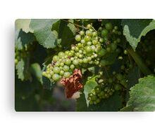 vineyard in spring Canvas Print