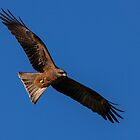 Black Kite by Ian Creek