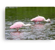 Pink Roseate Spoonbills Feeding Canvas Print