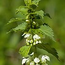 White Dead-nettle by Sue Robinson