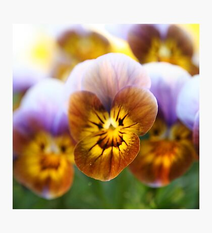 Rust-colored pansy - 2010 Photographic Print
