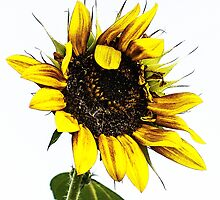 Sun Flower Smiles by Susan Werby
