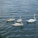 Swans on the Danube  by Ana Belaj