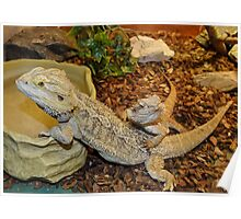Bearded Dragon Lizards Poster