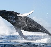 Humpback Whale Jumping High by BravuraMedia