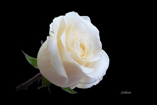 A rose from a rose by Rosemary Sobiera