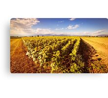 sunflowers field in a summer day Canvas Print