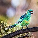 Mallee Ringneck Parrot by Ray Warren