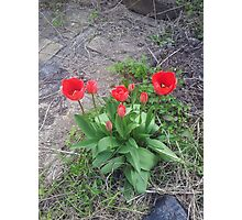 Red Tulips two Photographic Print