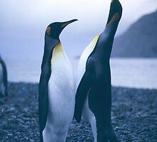 King Penguins by BravuraMedia