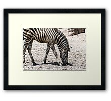 Baby Zebra In African Savanna Framed Print