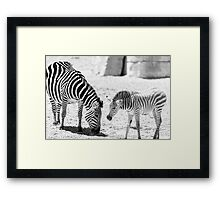 Protective Zebra Mother And Calf In African Savanna Framed Print
