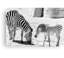Protective Zebra Mother And Calf In African Savanna Canvas Print