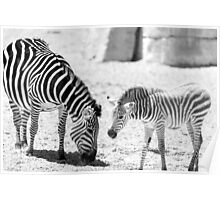 Protective Zebra Mother And Calf In African Savanna Poster