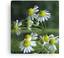 Chamomile in bloom; Lets Have Tea! Canvas Print