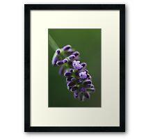 Lavender flower Framed Print