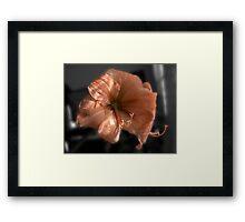 Peach Amaryllis Framed Print