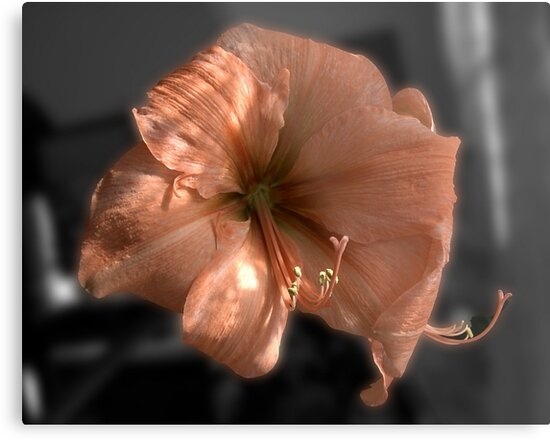 Peach Amaryllis by Barry Doherty