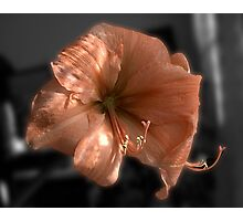 Peach Amaryllis Photographic Print