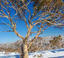 Snow Gum Australia by Dean Jewell