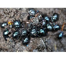 The dung beetles Anoplotrupes stercorosus Photographic Print