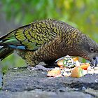 A Kea (Alpine Parrot) At The Te Anau Wildlife Centre. South Island, New Zealand. by Ralph de Zilva