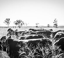 Bull Mustering B&W by Candice84