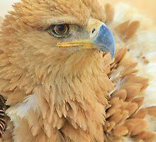 Tawny Eagle Anger - Wildlife Humor by LivingWild