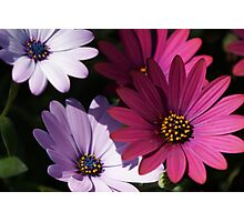 pink and purple daisies Photographic Print