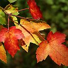 Autumn Maple Leaves ~ Nature's Work by SummerJade