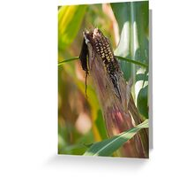 field planted with corn on the cob Greeting Card