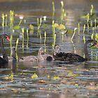 Swan Family by byronbackyard