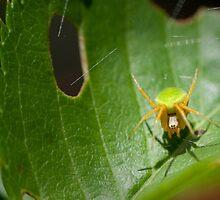 Incy Wincy Spider by Mark Elshout
