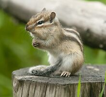 Cheeky Chipmunk by Mark Elshout