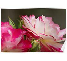 roses in the garden Poster