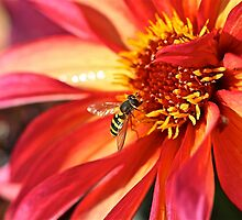 Dahlia + Hoverfly by John Thurgood