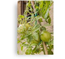 tomatoes in the garden Canvas Print