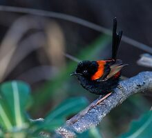 Red Backed Fairywren by Steve Bass