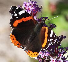 One more Red Admiral butterfly by Rivendell7