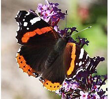 One more Red Admiral butterfly Photographic Print
