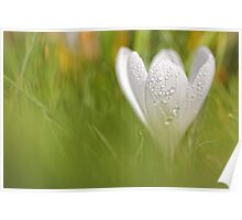 Wonderful wet white Crocus... Poster
