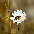Bug on Daisy on Lesvos by Sue Robinson