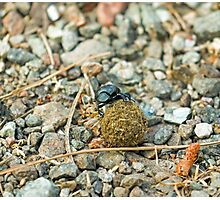 Dung Beetle with Dung Ball Photographic Print