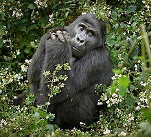 mountain gorilla, Uganda by travel4pictures