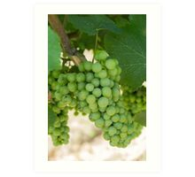 grape and vineyard in spring Art Print