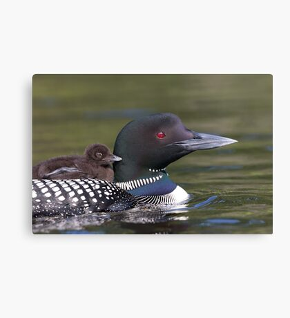 Common loon swimming with chick on her back Canvas Print
