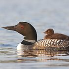 Common loon swimming with chick on her back by Jim Cumming