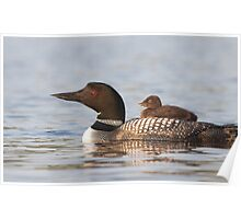 Common loon swimming with chick on her back Poster